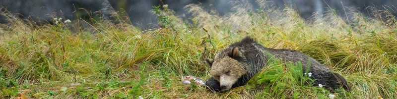 A grizzly bear lies sleeping in a grassy meadow