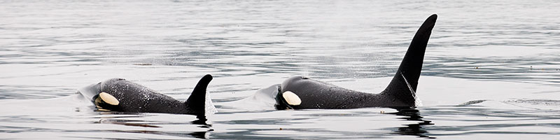 Two killer whales at the surface of the water.