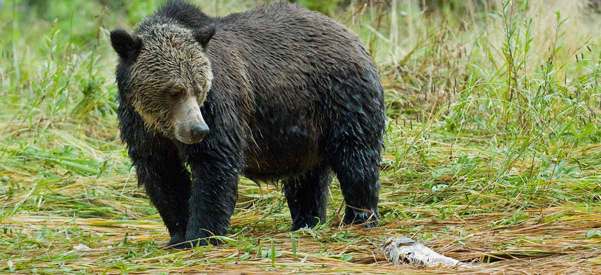 A grizzly stands and looks at a dead salmon