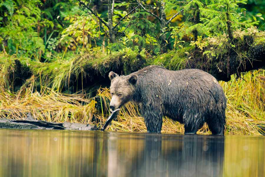 A grizzly bear eats a salmon during the making of Groundswell